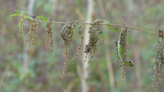 nasiona pokrzywy można surowe