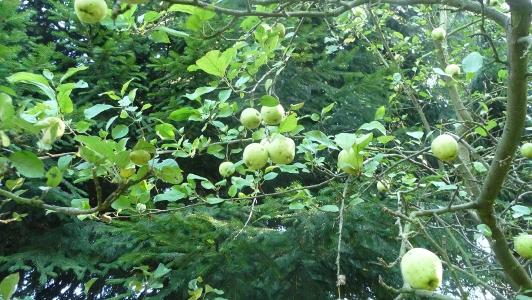 nawet kwaśne jabłka są dobre na ocet jabłkowy, ocet winny domowej produkcji