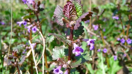 kwitnący bluszczyk kurdybanek