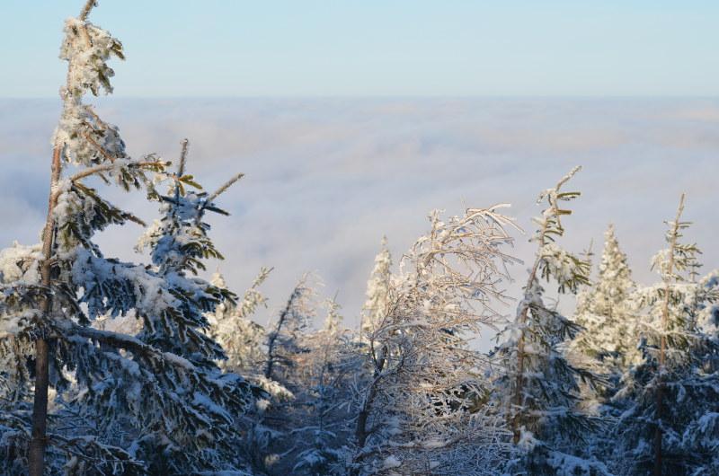 świerki we mgle